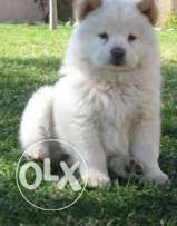 4 chowchow for sale