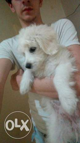 Cotton de terrier