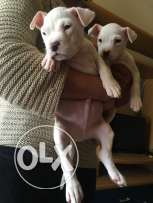 Dogo argentino female