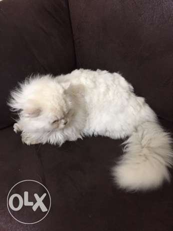 white pure Persian male waber tawil