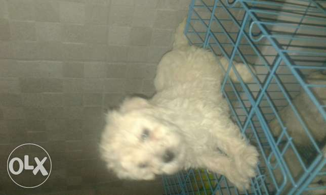 Bichon pupies سن الفيل -  3