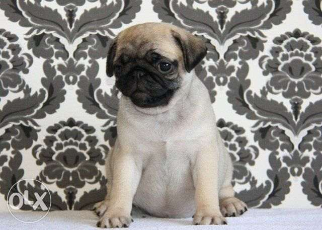 Imported Top quality Pug puppies available from AlphaPets