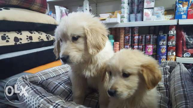 Beautiful and lovely golden retriever puppies