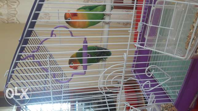Fischer lovebirds(male & Female)