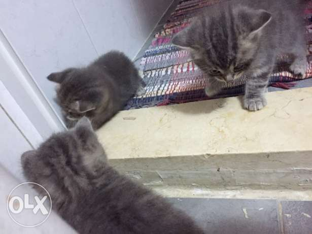 english kittens for sale