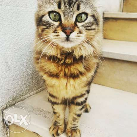 Domestic cat for sale