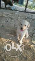 Pure labrador puppies for sale. Last days for the ad