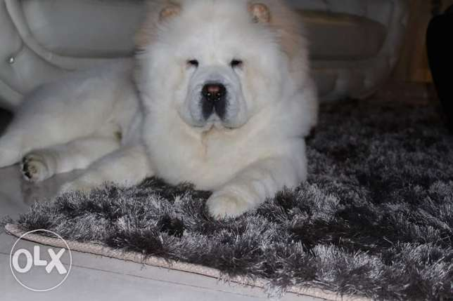 Chow chow white for sale - 1 year old fully vaccinated with passport