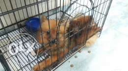 Loulou spitz male 5 month