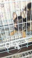 Berger german shepherd puppies