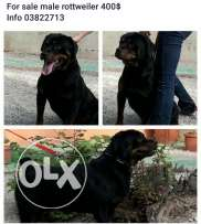 Male rottweiler for sale good carecter