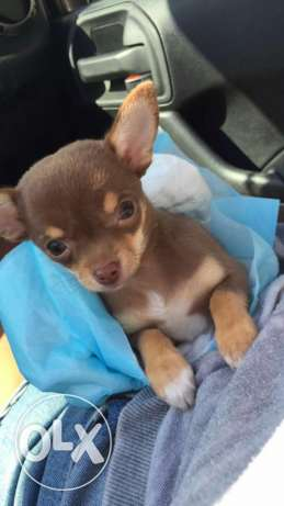Chihuahua dog for sale
