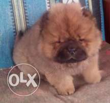 Chowchow puppies