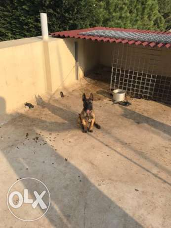 Malinois Puppie For Sale