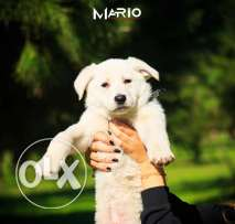 GIANT SIZE Swiss Shepherd Berger Suisse Puppies For Sale