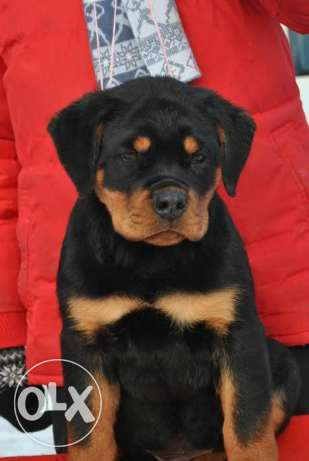 Rottweiler Giant Size