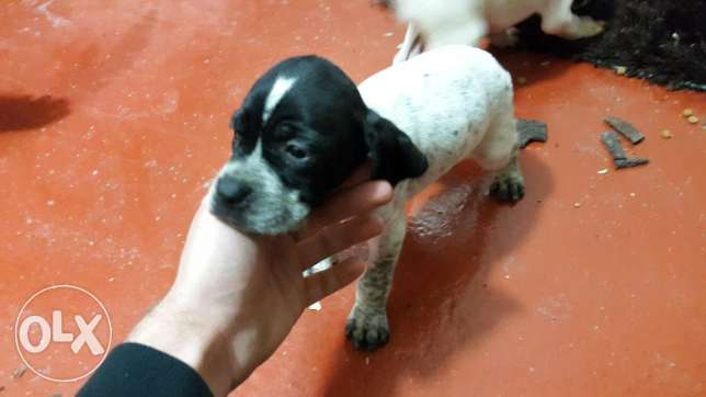 English pointer puppies جبيل -  3