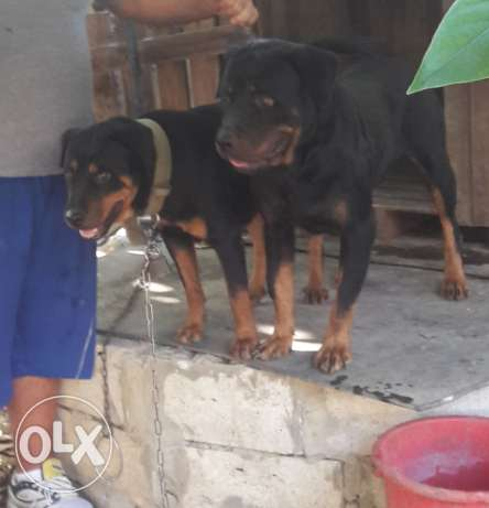 rottweiler male & female