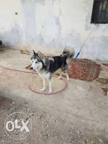 1 dog huskey male for sale