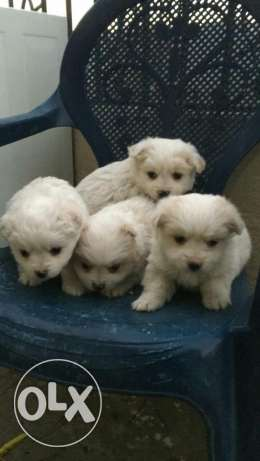 Loulou puppies
