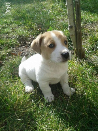 puppies Jack Russell short legs