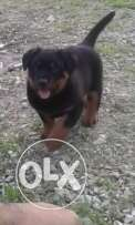 pure male rott no trade only serious buyers