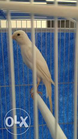 Cobra canary : white male , 9 months old