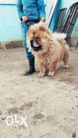 Chowchow male