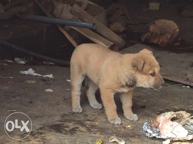 pur malinois for sale female age 1 month for good price 200$