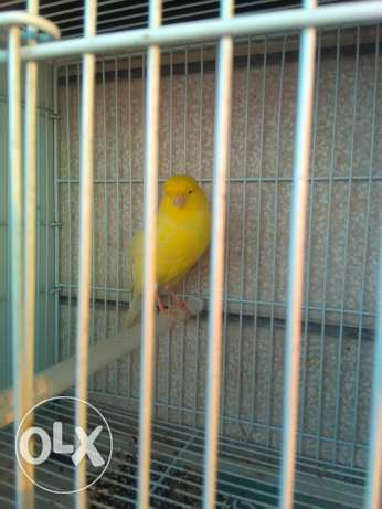 Canary for sale 150$