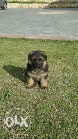 Original german shepherd puppies