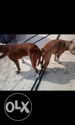 Jrawe pitbull red nose