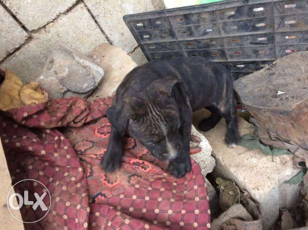 female pitbull for sale tiger ktr helwe 3omra 3 monthes