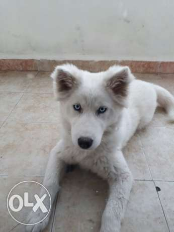 Husky female puppy for sale