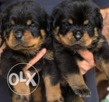 rottweiler bast pure breed