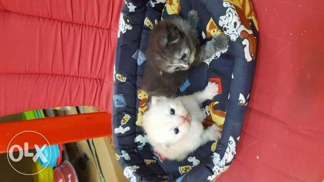 cat persian kitten ابو سمراء -  6