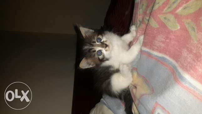 Kitten 2 months old for sale