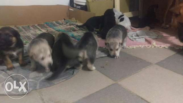 New born puppies for sale ذوق الخراب -  3