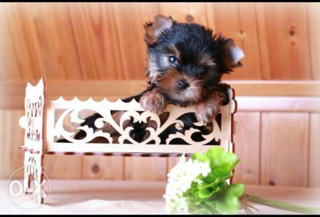 Yorkshire Terrier Teacup