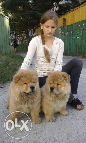 puppies chowchow