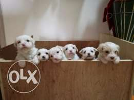 Bichon dogs male for sale